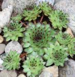 Hauswurz Mettenianum - Sempervivum tectorum