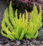 10x Baumheide Alberts Gold - Erica arborea