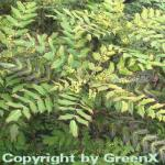 Mahonie Winter Sun 60-80cm - Mahonia media