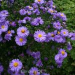 Kissenaster Early Blue - Aster dumosus