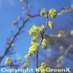 Ährige Scheinhasel 60-80cm - Corylopsis spicata