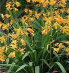 Garten Monbretie George Davidson - großer Topf - Crocosmia masoniorum