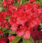 Großblumige Rhododendron Vulcan Flame 25-30cm - Alpenrose