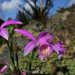 stark blühende Tibet Orchidee - Pleione formosana