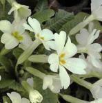 Stängellose Schlüsselblume - Primula vulgaris