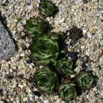 Dachwurz Smaragd - Sempervivum marmoreum