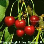 Süßkirsche Korida 60-80cm - dunkelrote süße Früchte