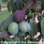Pflaume Anna Spaeth 60-80cm - Prunus domestica
