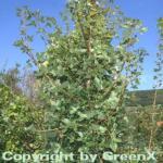 Französischer Ahorn 80-100cm - Acer monspessulanum