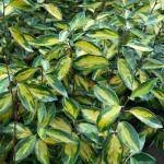 Wintergrüne Ölweide Limelight 80-100cm - Elaeagnus ebbingei