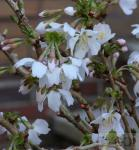 Geschlitzte Zierkirsche Kojou no mai 40-60cm - Prunus incisa