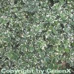 10x Weißbunte Kriechspindel Emerald Gaiety 10-15cm - Euonymus fortunei