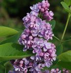 Edelflieder Paul Thirion 80-100cm - Syringa vulgaris
