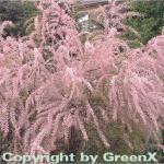 Kleinblütige Tamariske 60-80cm - Tamarix parviflora