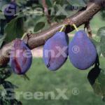 Pflaume Opal 60-80cm - Prunus domestica