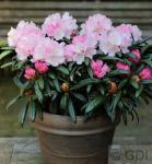 Hochstamm Rhododendron Makiyak 60-80cm - Alpenrose