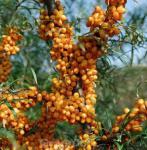 Sanddorn Vitaminhochzeit 40-60cm - Hippophae rhamnoides