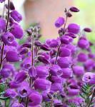 10x Irische Heide Vanessa - Daboecia cantabrica