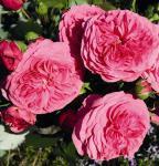 Nostalgierose Baronesse® - Tantau Rose