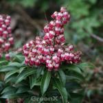 Schattenglöckchen Lavendelheide Rosalinde 30-40cm - Pieris japonica