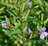 Blaue Gauklerblume - Mimulus ringens