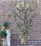 Korkenzieher Hasel 60-80cm - Corylus avellana
