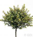 Hochstamm Löffel Ilex Glorie Dwarf 80-100cm - Ilex crenata