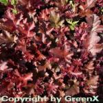 Purpurglöckchen Chocolate Ruffles - Heuchera micrantha