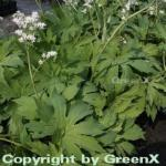 Ahornblatt - Mukdenia rossii