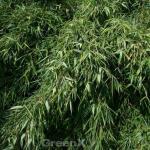 Gartenbambus Silver Bird® 80-100cm - Fargesia murielae