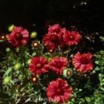 Korkadenblume Arizona Red Shades - großer Topf - Gaillardia aristata