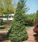 Serbische Kegel Fichte Zuckerhut 125-150cm - Picea omorika