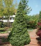 Serbische Kegel Fichte Zuckerhut 50-60cm - Picea omorika