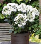 Bauernhortensie Coco® 30-40cm - Hydrangea macrophylla