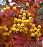 Eberesche Red Tip 100-125cm - Sorbus arnoldiana