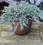 Blauer Kriechwacholder 30-40cm - Juniperus horizontalis