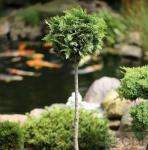 Hochstamm Scheinzypresse Gelbe Ivonne 60-80cm - Chamaecyparis lawsoniana