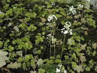 Kleeblättriges Schaumkraut - Cardamine trifolia