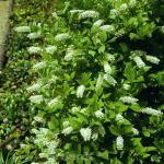 Rosmarinweide Merlot 40-60cm - Itea virginica