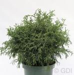 Bizarre Scheinzypresse 30-40cm - Chamaecyparis obtusa