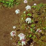 Kleines Schildblatt - Darmera peltata