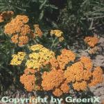 Schafgarbe Terracotta - Achillea millefolium