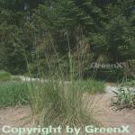 Riesenfedergras - Stipa gigantea