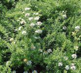 Teppich Aster Snow Flury - Aster pansos