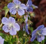 Wiesenstorchschnabel Mrs. Kendall Clark - Geranium pratense