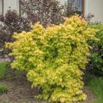 Fächerahorn Wabito 60-80cm - Acer palmatum