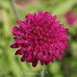 Witwenblume Red Knight - Knautia macedonica