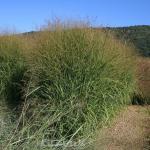 Rutenhirse Strictum - Panicum virgatum