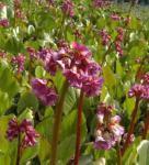 Bergenie Rotblum - Bergenia cordifolia