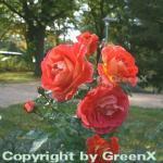 Hochstamm Rose Gebrüder Grimm® 40-60cm